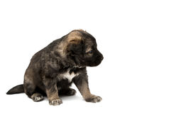 Puppy isolated Stock Image