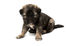 Puppy isolated Stock Photography
