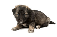 Puppy isolated Royalty Free Stock Images