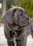 Puppy italian mastiff. Portrait of a young puppy purebred italian mastiff cane corso stock photo