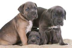 Puppy italian mastiff cane corso Stock Image