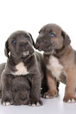 Puppy italian mastiff cane corso Stock Photos