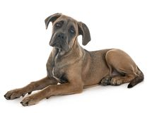 Puppy italian mastiff. In front of white background stock photo
