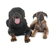 Puppy italian mastiff and rottweiler. In front of white background stock photography