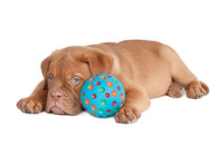 Puppy and its ball. Puppy lying tired after playing with a blue ball Stock Photos