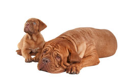 Puppy and its mom Stock Photos
