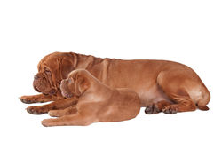 Puppy and its mom Royalty Free Stock Images
