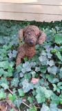 Puppy in the ivy Royalty Free Stock Image