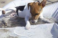 Puppy Jack die russel met water spelen Stock Foto