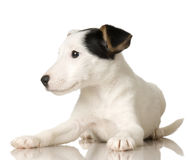 Puppy Jack russel. In front of a white background stock image