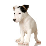 Puppy Jack russel. In front of a white background stock images