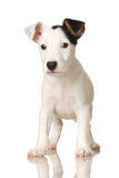 Puppy Jack russel. In front of a white background royalty free stock image