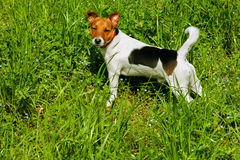 Puppy Jack russel found pet Stock Images