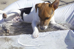 Puppy Jack russel playing with water Stock Photo