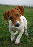 Puppy jack russel terrier. Puppy purebreed jack russel terrier , attentive, on the grass Stock Photo