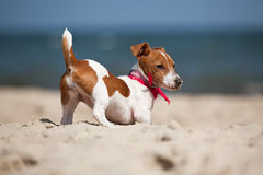 Puppy of Jack Russel terrier Royalty Free Stock Images