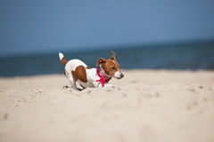 Puppy of Jack Russel terrier Royalty Free Stock Photos