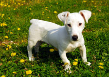 Puppy jack russel terrier. Young puppy purebred jack russel terrier in the grass Stock Image
