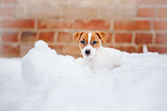 Puppy Jack russel terrier. Playing in winter Stock Image