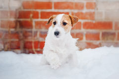 Puppy Jack russel terrier Stock Photography
