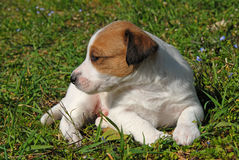 Puppy jack russel terrier royalty free stock images
