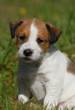 Puppy jack russel terrier. Puppy purebred jack russel terrier in a garden Royalty Free Stock Image