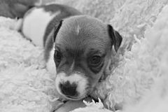 Puppy Jack Russel Terrier. In a blanket, black and white stock photos