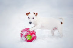 Puppy Jack russel terrier playing with ball Royalty Free Stock Photography