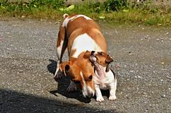 Puppy Jack Russel Terrier. Is playing with mom stock images