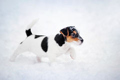 Puppy Jack russel terrier playing in winter Royalty Free Stock Photos