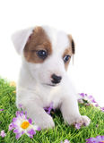 Puppy jack russel terrier Royalty Free Stock Photo