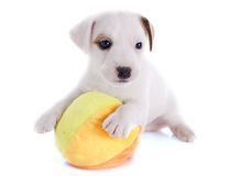 Puppy jack russel terrier Stock Photo