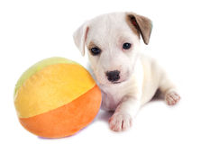 Puppy jack russel terrier Royalty Free Stock Photography