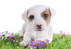 Puppy jack russel terrier Stock Photos