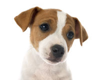 Puppy jack russel terrier Stock Images