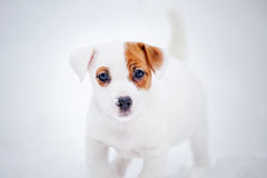 Puppy Jack russel terrier portrait in winter Royalty Free Stock Image