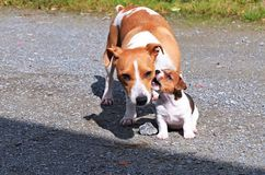 Puppy Jack Russel Terrier. Puppie Jack Russell terrier is playing with mom Royalty Free Stock Photos