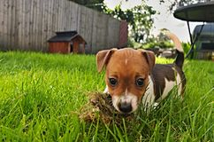 Puppy Jack Russel Terrier. Puppy of Jack Russell Terrier is playing in garden Stock Images