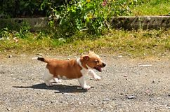 Puppy Jack Russel Terrier. Puppy of Jack Russell Terrier is running in garden stock photography