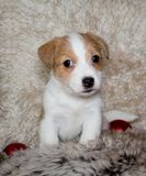 Puppy of Jack Russel Terrier. With two christmas balls Royalty Free Stock Photos