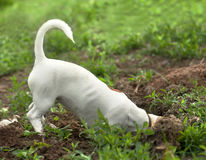 The puppy of jack russel stock photos