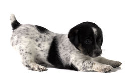 Puppy Jack Russell Royalty-vrije Stock Afbeeldingen