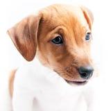 Puppy Jack Russell Stock Afbeeldingen