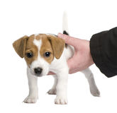 Puppy Jack russell (7 weeks) Stock Photos