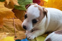 Puppy Jack Russell in autumn leaves stock photography