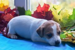 Puppy Jack Russell in autumn leaves stock images