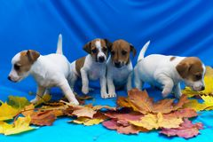 Puppy Jack Russell in autumn leaves stock image