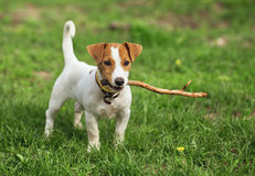 The puppy Royalty Free Stock Images