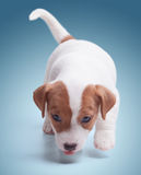 The puppy Jack Russell Stock Photos