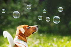 Puppy jack russell playing with soap bubbles. In summer outdoor Royalty Free Stock Photography